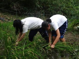 校内にある棚田で稲刈りを行いました。